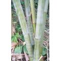 "Dendrocalamus minor amoneous     ""Ghost bamboo"""