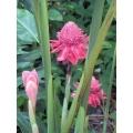 "Ettlingera elarior  ""Pink torch ginger"""