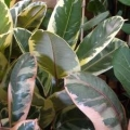 "Ficus elastic ""Tineke"""