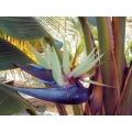 """Strelitzia nicolai """"Giant bird of paradise"""""""