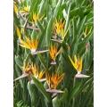 "Strelitzia reginae   ""Bird of Paradise"""