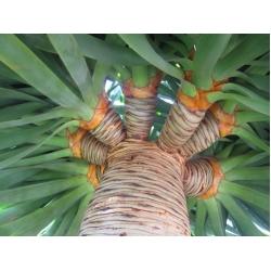 """Draceana draco """"Dragon tree"""""""