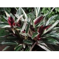 "Ctenanthe oppenheimiana ""Tricolor"""
